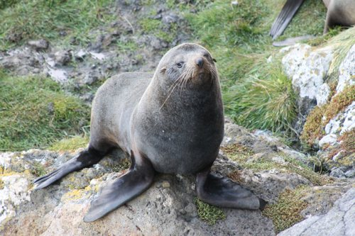Fur seal, Otago Peninsula