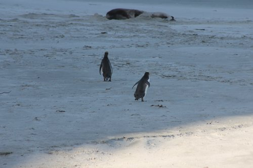 Yellow-eyed Penguins approaching a Sealion, Otago Peninsula